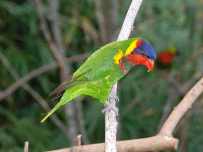 Ornate Lorikeet