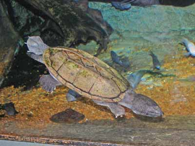 Mexican Giant Musk Turtle