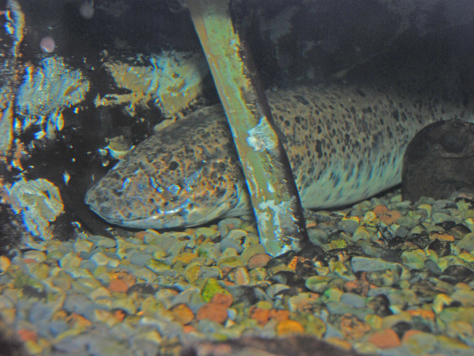 The Online Zoo West African Lungfish