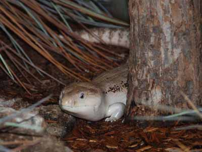 Northern Blue-tongued Skink