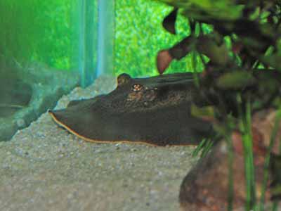 Amazon River Ray