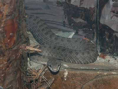Western Twin-spotted Rattlesnake