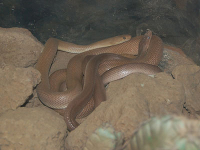 Baja California Rat Snake