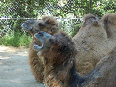 Domestic Bactrian Camel
