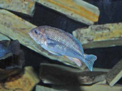 Unidentified Cichlid