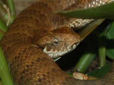 Northern Death Adder