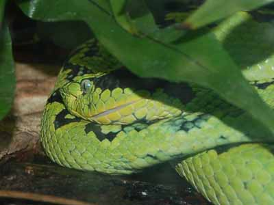Yellow-blotched Palm Pit Viper