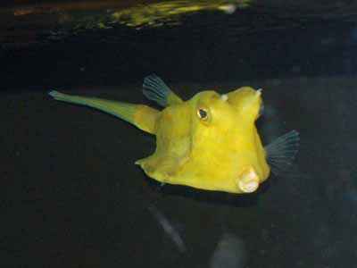 Unidentified Cowfish