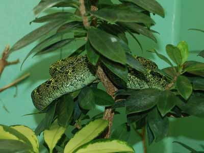 Black-speckled Palm Pit Viper