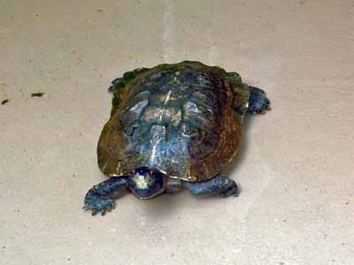 Asian Giant Pond Turtle