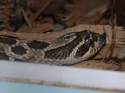 Mexican Hognose Snake