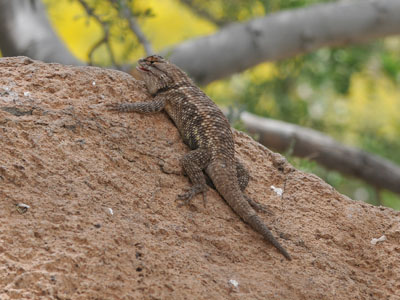 Desert or Clark's Spiny Lizard