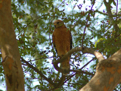 California Red-shouldered Hawk