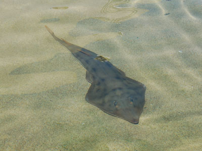 Eastern Shovelnose Ray or Shovelnose Guitarfish