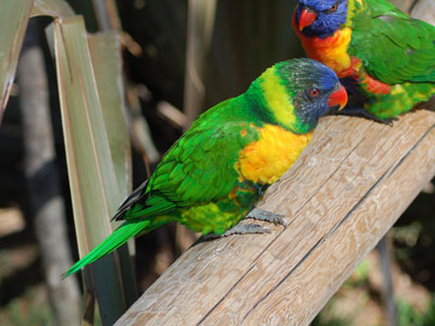 Edwards Lorikeet