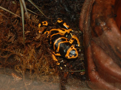 Yellow & Black Poison Dart Frog
