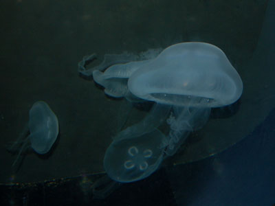 Moon Jelly (labiata)