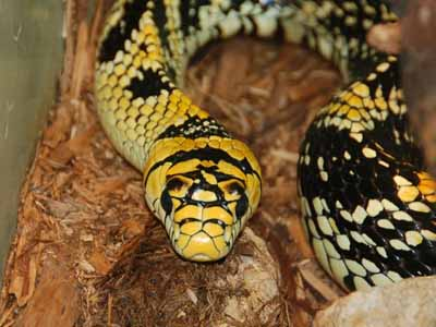 Mexican Tiger Rat Snake