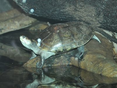 Savanna Side-necked Turtle