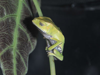Sharp-backed Monkey Tree Frog