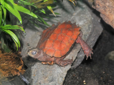 Black-breasted Leaf Turtle