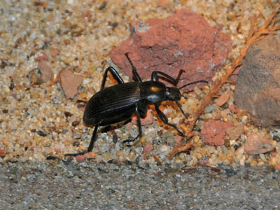Unidentified Darkling Beetle