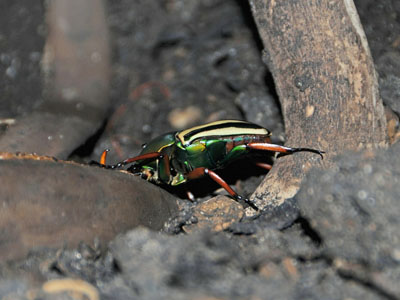 Flamboyant Flower Beetle
