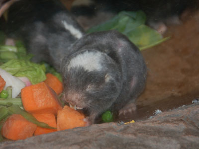 Damaraland Mole Rat