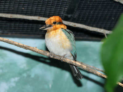 Micronesian Kingfisher