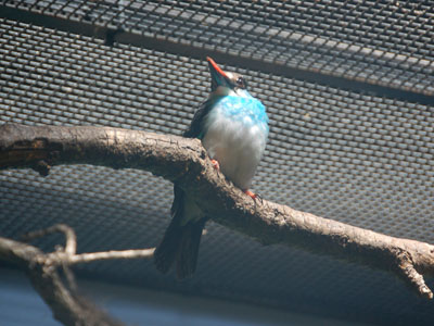 Blue-breasted Kingfisher