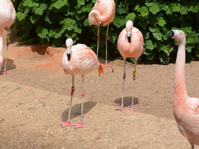 Unidentified Curly-tailed Lizard