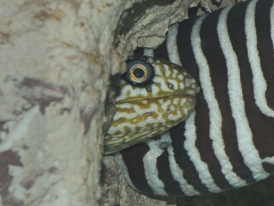 Honeycomb Moray