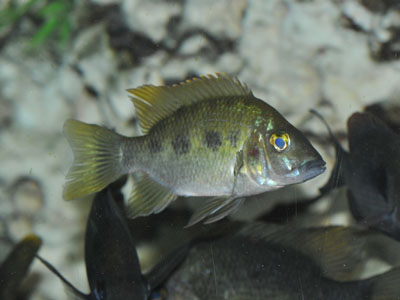 East Coast Cichlid