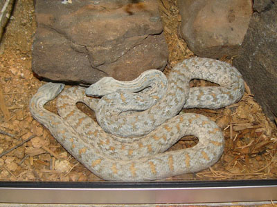 Russian Blunt-nosed Viper