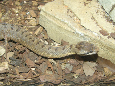 Eastern Twin-spotted Rattlesnake