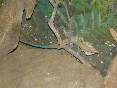 Common Ameiva