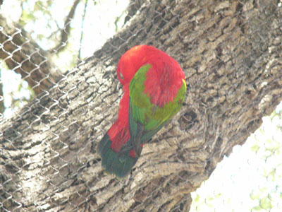 Red-backed Lory