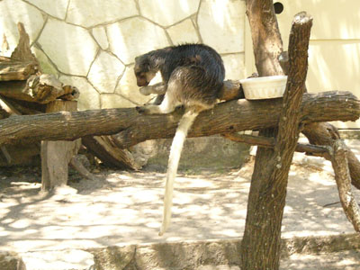 Grizzled Tree Kangaroo