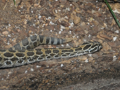 Mexican Lance-headed Rattlesnake