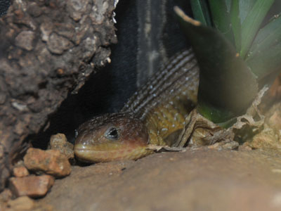 Northern Imbricate Alligator Lizard