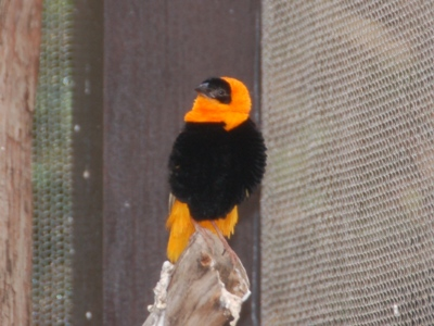 Northern Red Bishop