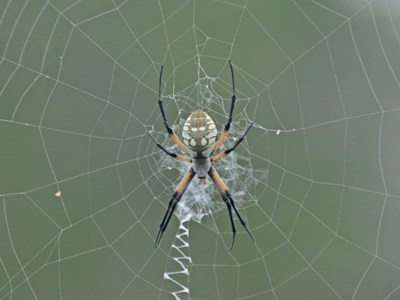 Black-and-yellow Garden Spider