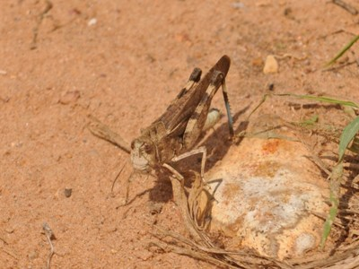 Unidentified Grasshopper or Cricket