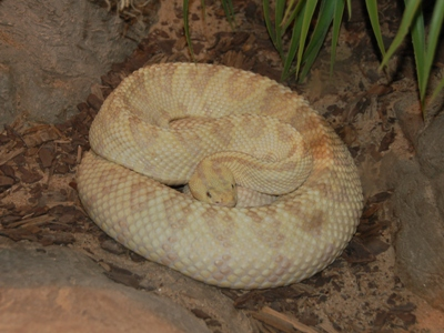 Northwestern Neotropical Rattlesnake