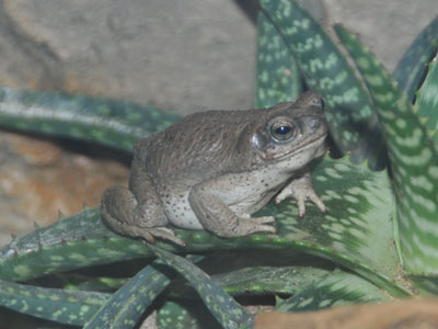 Red-spotted Burrowing Frog