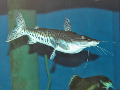 Tiger Catfish