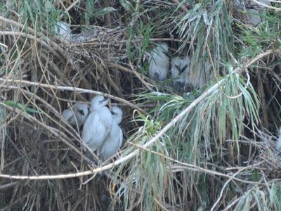 Juvenile Cattle Egrets