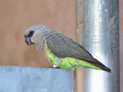 Unidentified Parrot
