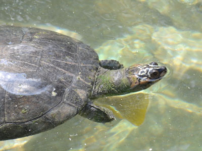 Arrau River Turtle