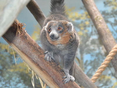 Mongoose Lemur